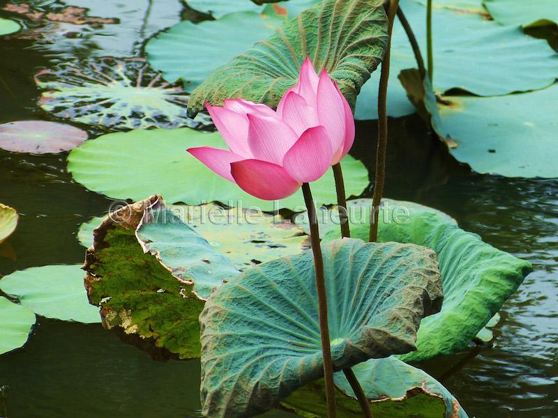 Lotus copyright photo Laheurte pour La Kitchenette de Miss Tam